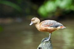 Lesser Whistling Duck Royalty Free Stock Images