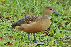 Lesser Whistling Duck. Stock Images