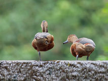 Lesser Whistling-Duck Image stock