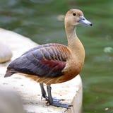 Lesser Whistling-Duck Stockfotografie