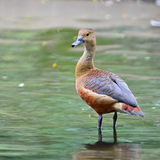 Lesser Whistling-Duck Fotos de Stock