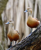 Lesser Whistling-Duck Foto de Stock Royalty Free