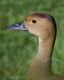 Lesser Whistling Duck Stock Photos