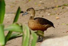Lesser Whistling-Duck (Dendrocygna javanica) Royalty Free Stock Images