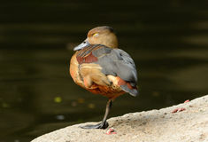 Lesser Whistling-Duck (Dendrocygna javanica) Stock Photos