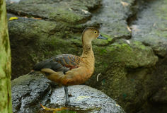 Lesser Whistling-Duck (Dendrocygna javanica) Stock Image