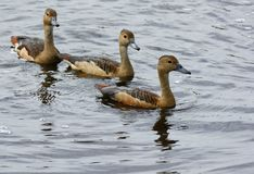 Lesser Whistling-Duck Dendrocygna javanica Royalty Free Stock Image