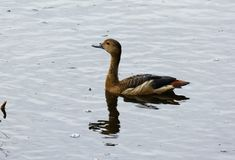 Lesser Whistling-Duck Dendrocygna javanica Royalty Free Stock Photo