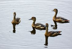 Lesser Whistling-Duck Dendrocygna javanica Stock Photography