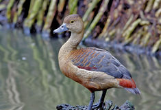 Lesser whistling duck Dendrocygna javanica Stock Photos