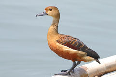 Lesser whistling duck Dendrocygna javanica Cute Birds of Thailand. Lesser whistling duck Dendrocygna javanica Cute Bird of Thailand Royalty Free Stock Photos