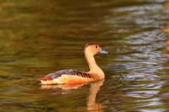 Lesser Whistling Duck Royalty Free Stock Photo