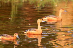 Lesser Whistling Duck Stock Images