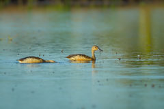 Lesser whistling duck Royalty Free Stock Image