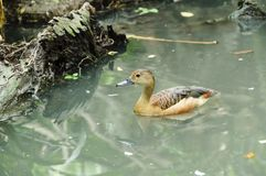 Lesser whistling duck( Dendrocygna javanica) swimming in nature Royalty Free Stock Image