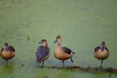 Lesser whistling duck. Of family standing in the mossy water of pond. beautiful and natural view stock photos