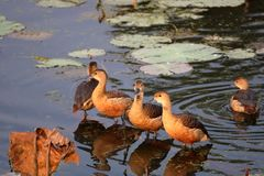 Lesser whistling duck. Of family standing in the water of pond. beautiful and natural view stock image