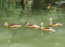 Lesser whistling duck group are swimming Stock Images