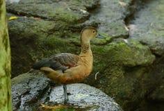 Lesser Whistling-Duck (javanica di Dendrocygna) Immagine Stock