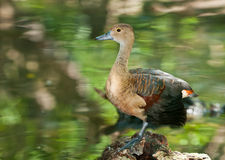 Lesser Whistling-duck Royalty Free Stock Images