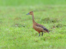 Lesser Whistling-Duck Stock Photos