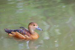 Lesser Whistling-Duck precioso Imagen de archivo libre de regalías