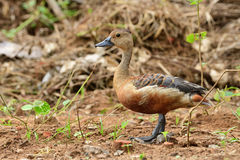 Lesser whistling duck Stock Photography