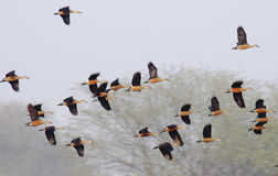 Lesser Whistling-ducks Stock Images