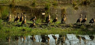 Lesser Whistling Ducks Image stock