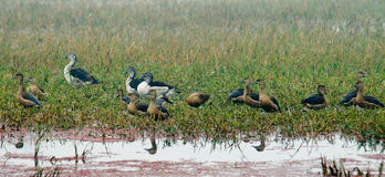 Lesser Whistling-ducks and Comb Ducks Stock Image