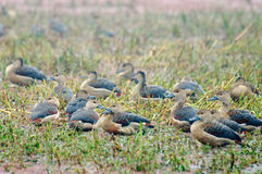 Lesser Whistling-ducks Dendrocygna javanica Stock Images