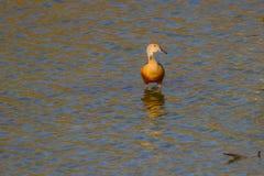 Lesser Whistling-ducks Dendrocygna javanica Royalty Free Stock Image