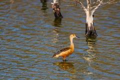 Lesser Whistling-ducks Dendrocygna javanica Stock Image
