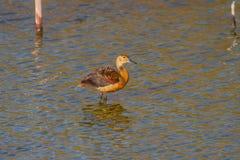 Lesser Whistling-ducks Dendrocygna javanica Stock Photos