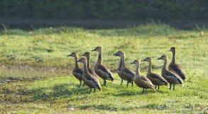 Lesser Whistling Ducks (Dendrocygna Javanica) Stock Image
