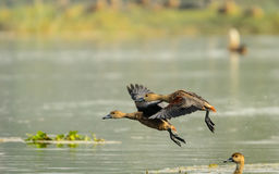 Lesser Whistling Ducks Royalty Free Stock Photo