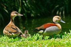 Lesser whistling ducks Stock Photography