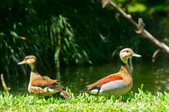 Lesser whistling ducks Stock Image
