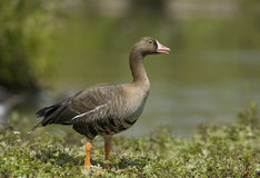 Lesser White-fronted Goose Royalty Free Stock Photo
