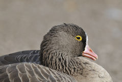 Lesser White-fronted Goose. Anser erythropus Closeup of head with yellow eye ring stock image