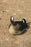 Lesser white fronted goose Stock Photo