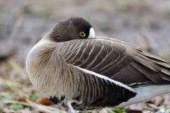 Lesser white fronted goose anser erythropus stock images