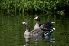 Lesser white-fronted goose Anser erythropus Royalty Free Stock Images