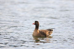 Lesser white-fronted goose Stock Photos