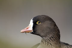 Lesser white-fronted goose, Anser erythropus. Single bird head shot stock image