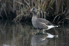 Lesser white-fronted goose, Anser erythropus. Single bird in water, captive stock image