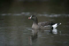 Lesser white-fronted goose, Anser erythropus Stock Photo