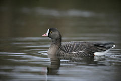 Lesser white-fronted goose, Anser erythropus. Single bird in water, captive royalty free stock photos