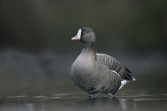 Lesser white-fronted goose, Anser erythropus Stock Photos