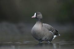 Lesser white-fronted goose, Anser erythropus. Single bird in water, captive stock photos